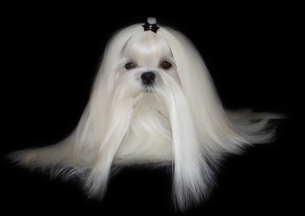 diamond_shine_maltese