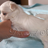 diamond_shine_litter_s_66