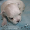 diamond_shine_litter_s_30
