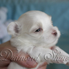 diamond_shine_litter_s_40