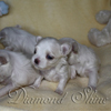diamond_shine_litter_s_42