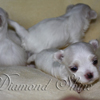 diamond_shine_litter_s_46