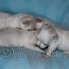 diamond_shine_litter_s_48