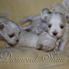 diamond_shine_litter_s_52